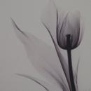 tulipchou