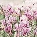 formosaorchid